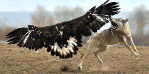 Chasse à l`aigle-voyage en mongolie