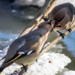 les-oiseaux-de-la-mongolie5