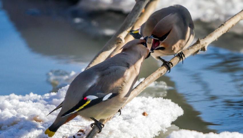 Les oiseaux  de la Mongolie