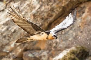 les-oiseaux-de-la-mongolie6