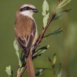 les-oiseaux-de-la-mongolie8