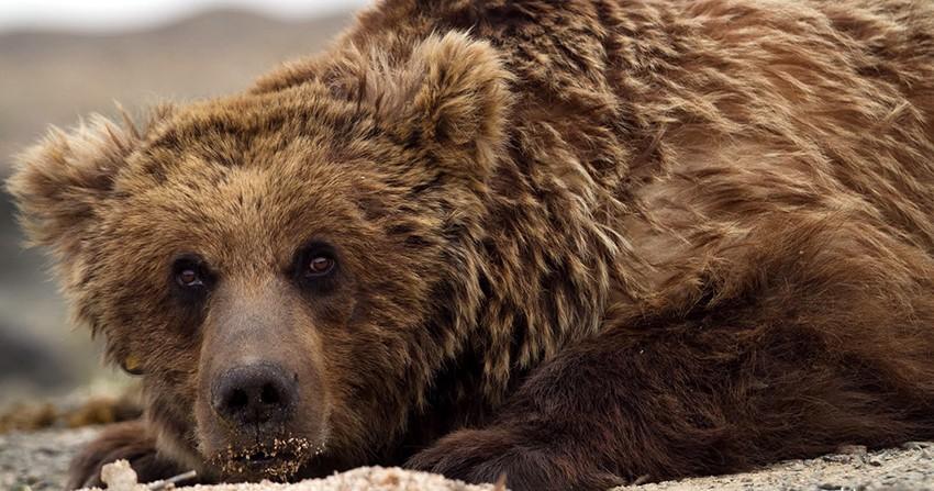 L'Avenir de l'ours « Mazaalai »du Gobi mongol