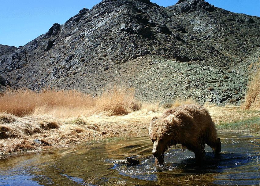 Gobibär